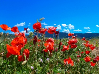MAY in PROVENCE – check out the poppies!