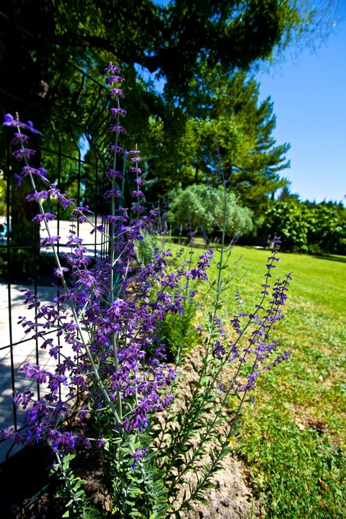 Lavender bushes around the pool fence