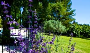 Lavender bushes crop