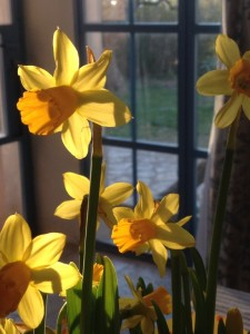 Daffodils in March